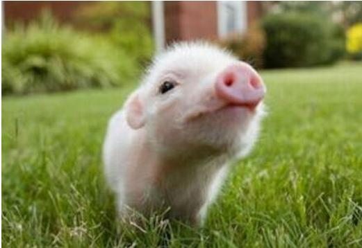 养殖-育成猪饲养班